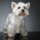 Montanhas Terrier branco ocidentais que fica na tabela do estúdio Imagens de Stock Royalty Free