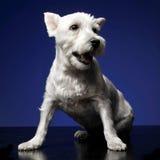 Montanhas Terrier branco ocidentais que senta o photostudio, backgr azul Fotografia de Stock