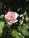 Montanhista cor-de-rosa Foto de Stock Royalty Free