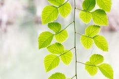 Montanhista verde da folha Foto de Stock Royalty Free