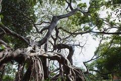 Montanhistas da árvore vivos Foto de Stock Royalty Free