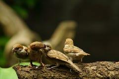 Montanus воробья или проезжего дерева филиппинской птицы Майя окунь евроазиатского на товарище питания рта ветви дерева Стоковая Фотография