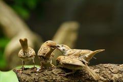 Montanus воробья или проезжего дерева филиппинской птицы Майя окунь евроазиатского на товарище питания рта ветви дерева Стоковые Фотографии RF