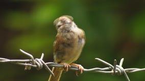 Montanus agitado de Philippine Maya Bird Eurasian Tree Sparrow o del transeúnte que se encarama en el alambre de púas que busca l almacen de metraje de vídeo