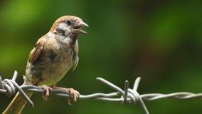 Montanus agitado de Philippine Maya Bird Eurasian Tree Sparrow o del transeúnte que se encarama en el alambre de púas que busca l metrajes