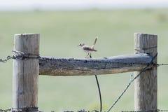 Montanus di Sage Thrasher Oreoscoptes su un recinto del filo spinato immagine stock