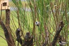 Montanus Parus Стоковые Изображения