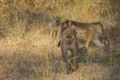 Montar a caballo contemplativo del babuino del bebé en mamá Imagenes de archivo