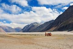 Montar a caballo del camello en desierto Foto de archivo