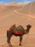Montar a caballo del camello en dunas de arena Imagenes de archivo