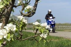 Montar a caballo del hombre joven en la vespa a lo largo de árboles del flor Foto de archivo libre de regalías