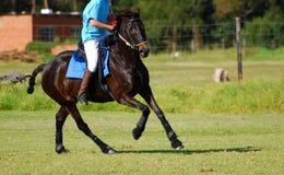 Montar a caballo del jugador de Polocrosse en caballo Foto de archivo libre de regalías