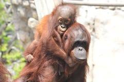 Montar a caballo del orangután del bebé en la parte posterior del ` s de la mamá fotos de archivo