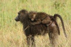 Montar a caballo infantil empapado por la lluvia del babuino en la parte posterior de su madre en Serengetii Fotografía de archivo libre de regalías