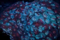 Montastrea珊瑚 库存图片