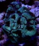 Montastrea verde Brain Coral Fotografia de Stock Royalty Free