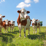 Montbeliarde cattle Royalty Free Stock Photography