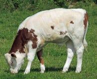 Montbeliarde Heifer Calf with Happy Emoji Marking Stock Image