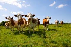 Montbeliarde-Kühe Lizenzfreies Stockfoto