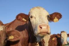 Montbeliarde-Kühe, die zusammen oben stehen, Abschluss mit gelben Ohrmarken und ein blauer Himmel stockbild
