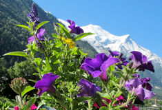 Montblanc view from Chamonix valley through flowers Royalty Free Stock Photos