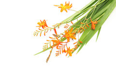 Montbretia in a white background Stock Images