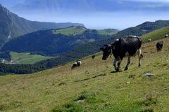 Monte Baldo,意大利,在领域的母牛 库存图片