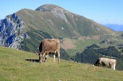 Monte Baldo, Itália, vacas no campo Imagem de Stock Royalty Free