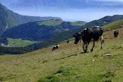Monte Baldo, Włochy, krowy na polu obraz stock