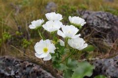 Monte el racimo de Lily del cocinero, parque nacional del paso de Arturo Fotos de archivo libres de regalías