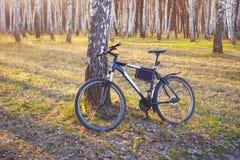 Monte en bicicleta en abedules de la primavera parquean en la luz del sol de la tarde Imagen de archivo libre de regalías