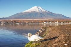 Monte Fuji com as cisnes no lago Yamanaka fotos de stock royalty free