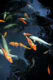 Monte Palace Tropical Garden – Koi Carp – M Stock Photos
