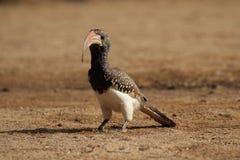 Monteiro's Hornbill. (Tockus monteiri) sitting on the ground stock photos