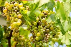Montenegrinska vita druvor Arkivfoton