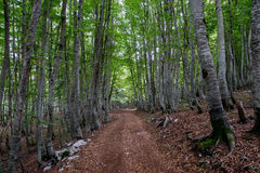 Montenegro, Buche Grove Stockbild