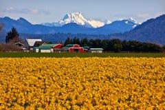 Montera Shuksan Skagit gula påskliljar Washington Royaltyfria Foton