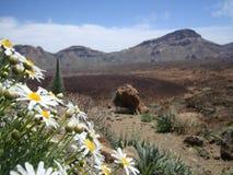 Montera Teide det blom- landskapet med den nätta vita blomman Arkivfoto