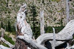 Montera trädet för ` för St som Helen sprängde det s lägger på sida royaltyfri foto