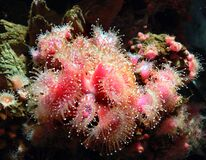 Monterey Aquarium. anemones stock images