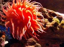 Monterey Aquarium. anemones Stock Image