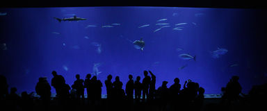 Monterey Bay Aquarium. People observing Monterey Bay Aquarium's 1 million gallon tank open ocean tank Royalty Free Stock Images