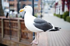Monterey California seagull looking out onto the bay Royalty Free Stock Image
