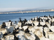 Monterey Cormorants Stock Images