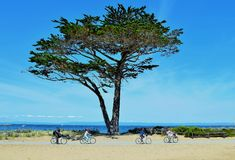 Bike Riders with Monterey Cypress Tree. A lone Monterey Cypress Tree stands along the Monterey Bay Coastal Recreation Trail as bike riders pass by royalty free stock photography