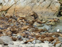 Monterey Sea Lions. View of numerous sea lions in Monterey, CA Royalty Free Stock Photos