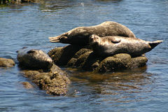 Monterey Seals royalty free stock photography