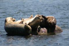 Monterey Seals Stock Image