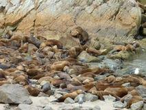 Montereyzeeleeuwen Royalty-vrije Stock Foto's