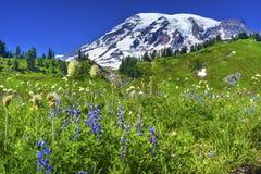 Montering Rainier National Park för paradis för BistortLupinevildblommor Fotografering för Bildbyråer